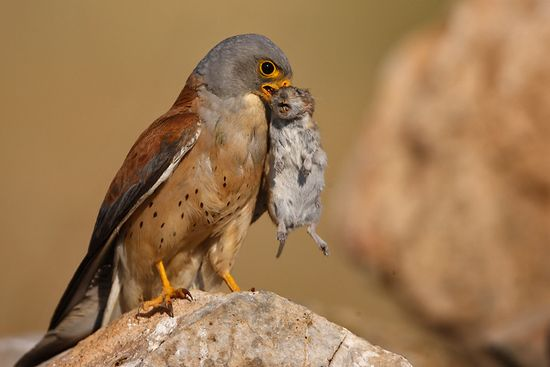 Breathtaking Examples Of Bird Photography Lesser Kestrel
